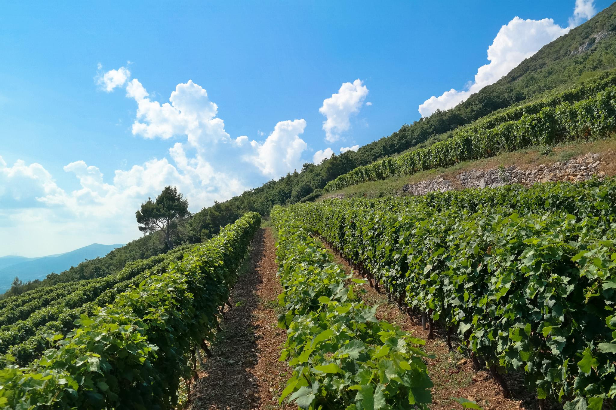 vineyard on hill Kozjak in Kastela